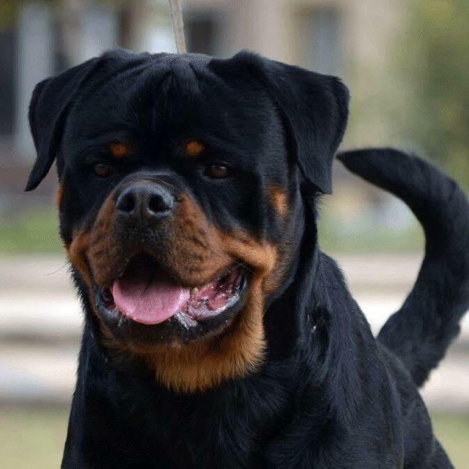 Rottweiler Attacks Gunman At Moreno Valley Ca Pawnshop Rottweiler