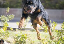 Rottweiler Aggression