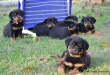 Rottweiler Puppy Training