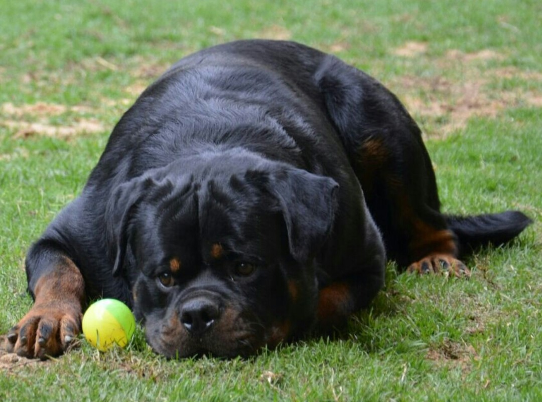 Rottweiler Disobedience Problems