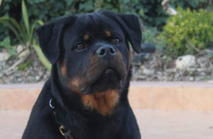 Teaching Your Rottweiler